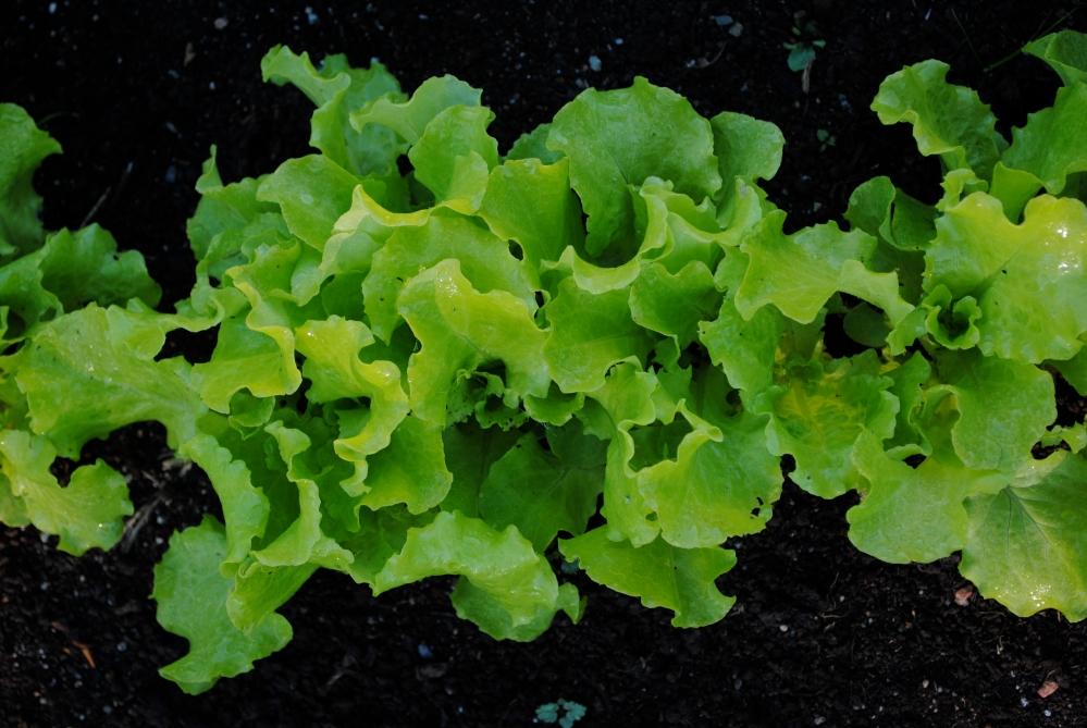 Salad Greens (2/3)