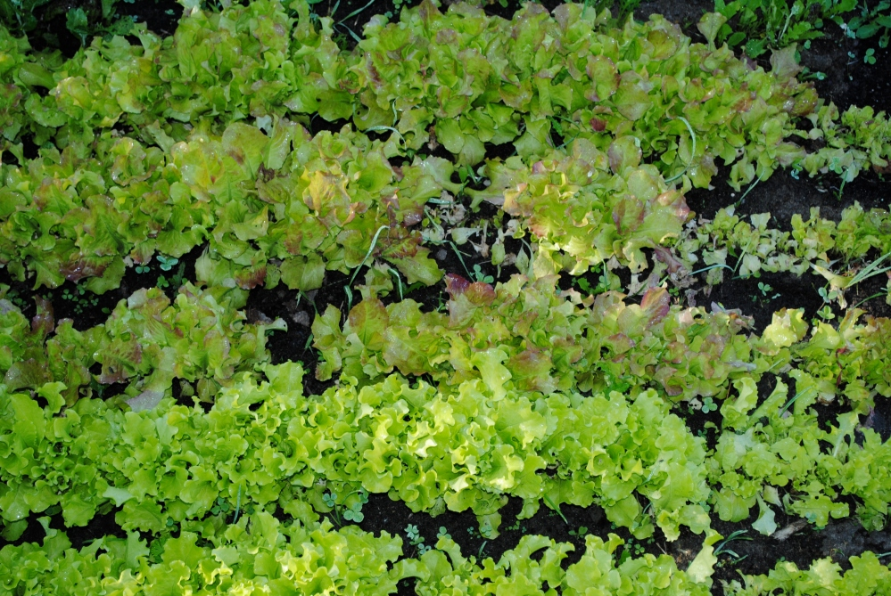 Salad Greens (1/3)